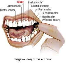 'Canine' teeth of a human