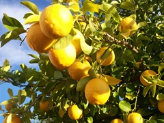 Lemon tree - photo courtesy of Fran Linden at Stock.Xchng