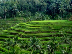 Rice terrace in Bali, Indonesia
